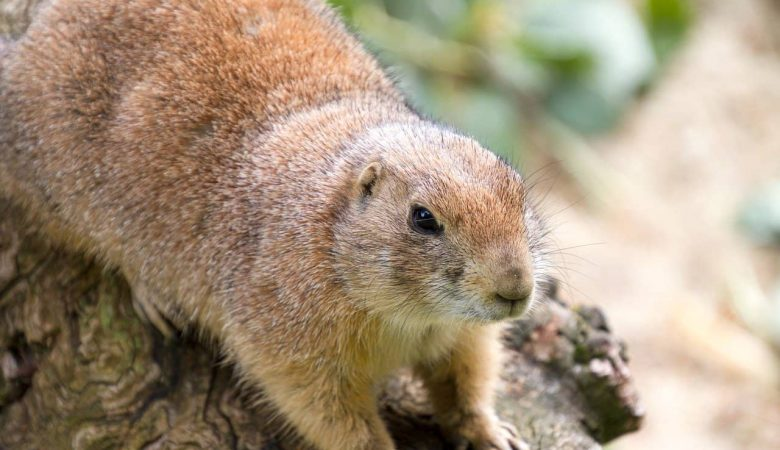 Ground Squirrel - HomeNar